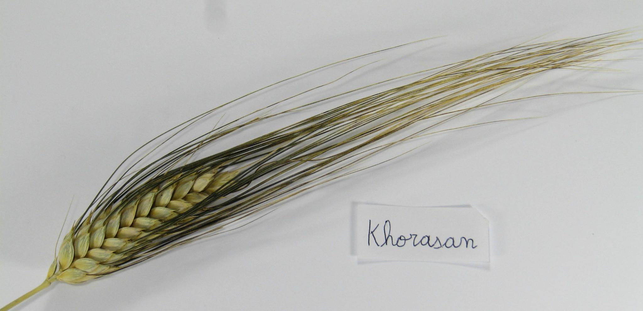 épis de Khorasan