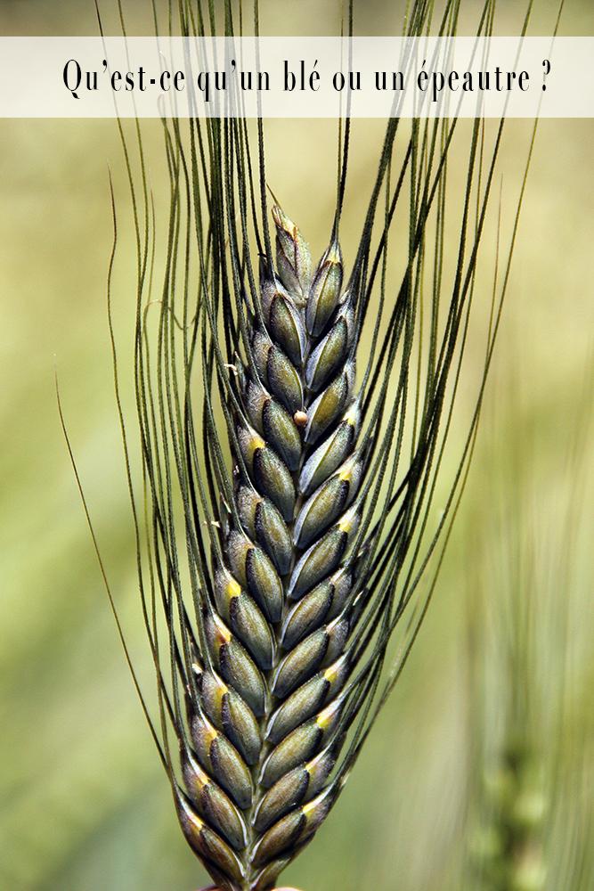 blé ou épeautre céréales anciennes