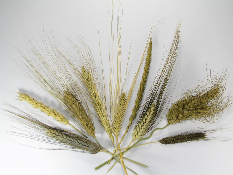 bouquet Céréales anciennes