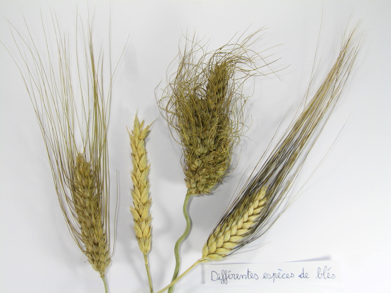 différentes espèces de blés